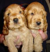 Gold Puppies
